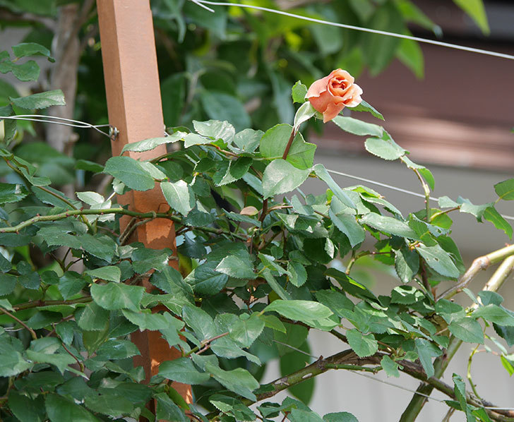 つるジュリア(ツルバラ)の花が咲いた。2019年-22.jpg