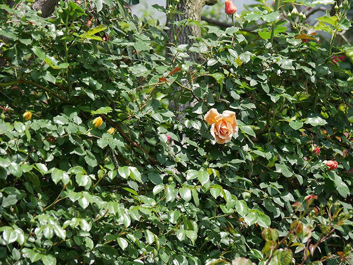つるジュリア(ツルバラ)の花が咲いた。2019年-3.jpg