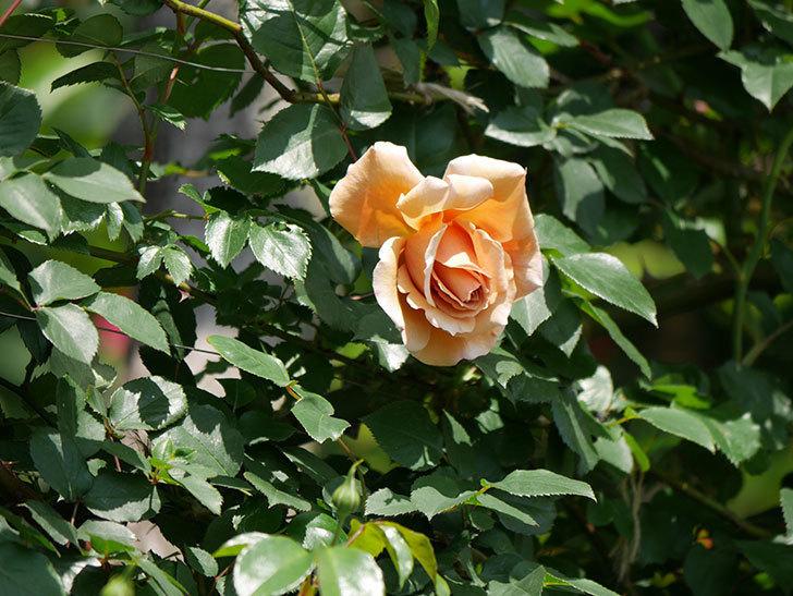 つるジュリア(ツルバラ)の花が咲いた。2019年-4.jpg