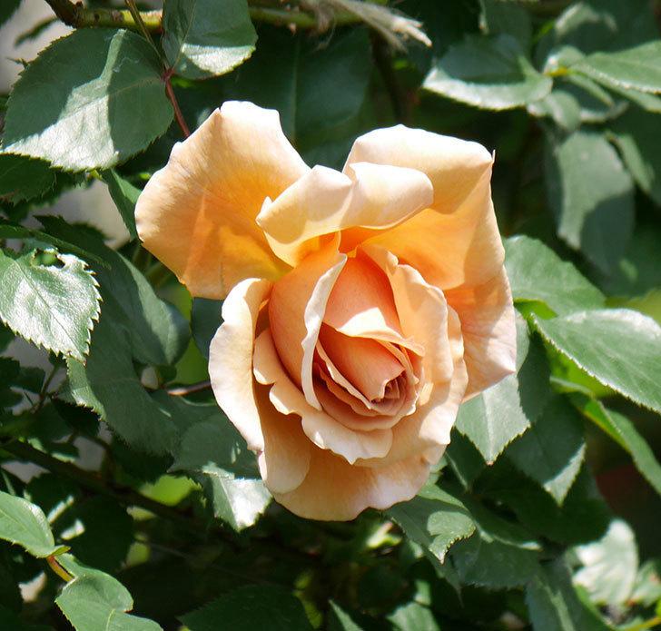 つるジュリア(ツルバラ)の花が咲いた。2019年-5.jpg