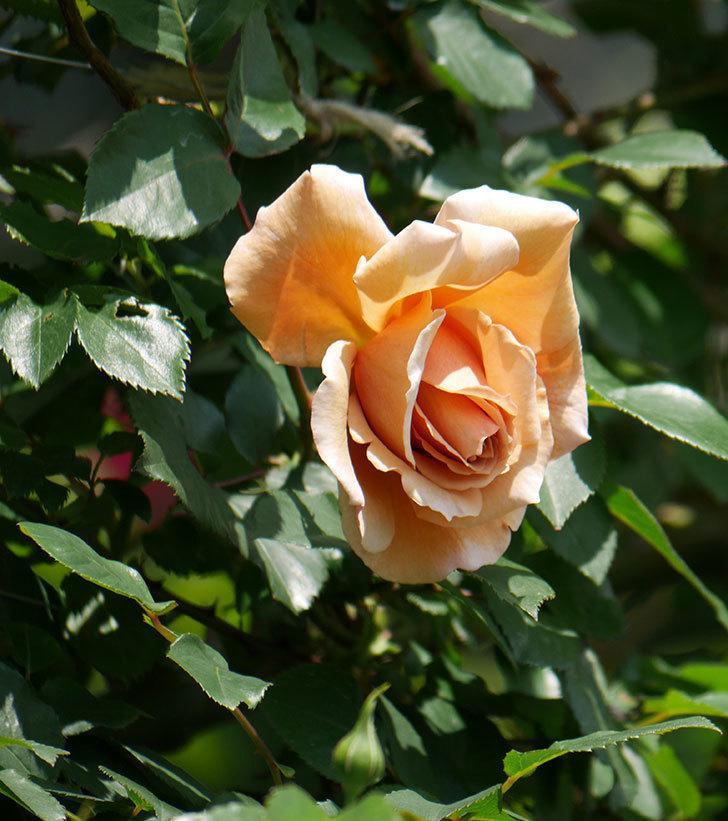 つるジュリア(ツルバラ)の花が咲いた。2019年-6.jpg