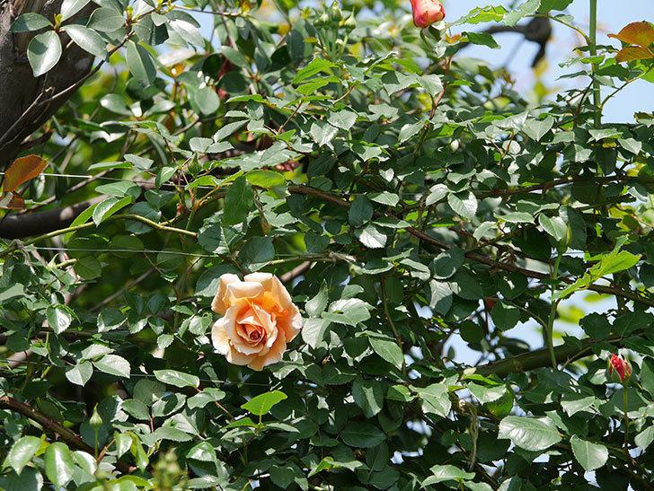 つるジュリア(ツルバラ)の花が咲いた。2019年-7.jpg