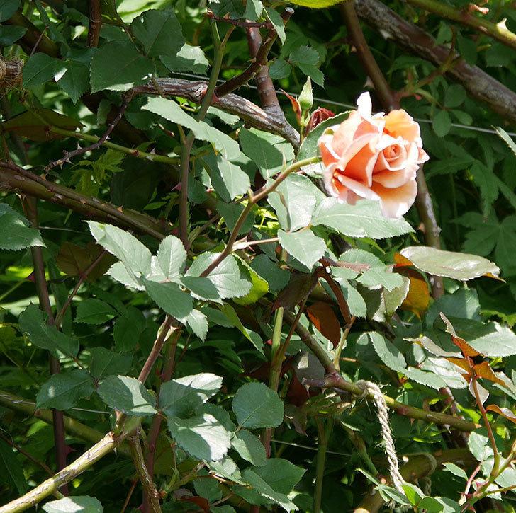 つるジュリア(ツルバラ)の花が咲いた。2019年-9.jpg