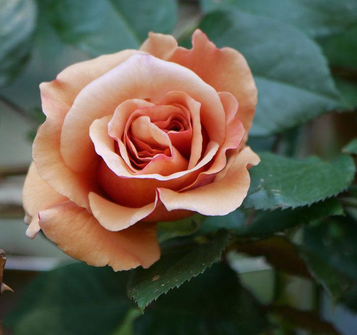 つるジュリア(ツルバラ)の花が咲いた。2020年-1.jpg