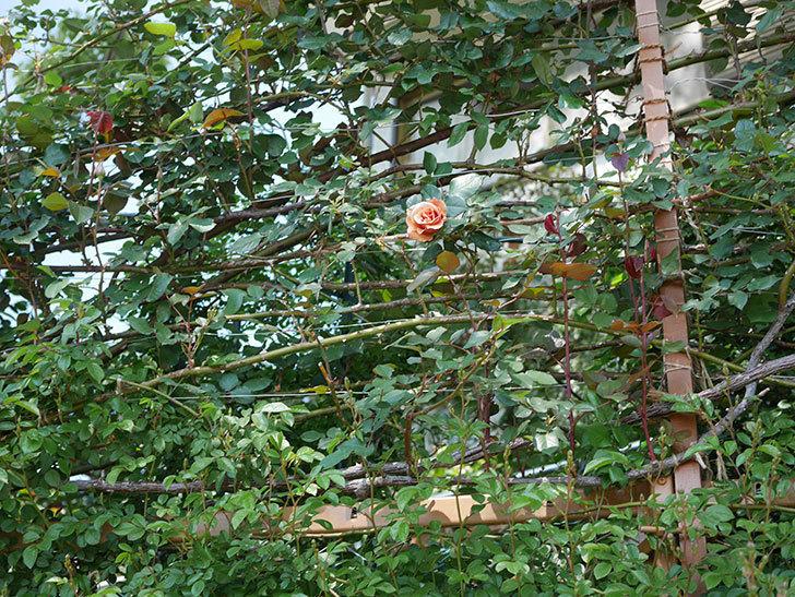 つるジュリア(ツルバラ)の花が咲いた。2020年-10.jpg