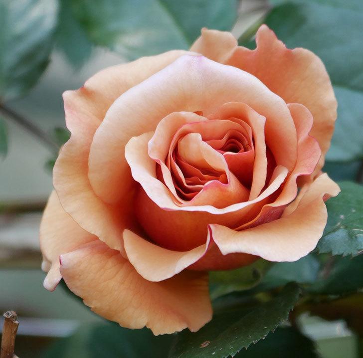 つるジュリア(ツルバラ)の花が咲いた。2020年-2.jpg