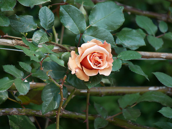 つるジュリア(ツルバラ)の花が咲いた。2020年-3.jpg