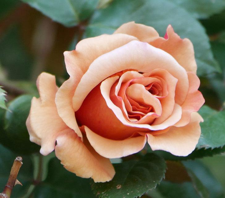 つるジュリア(ツルバラ)の花が咲いた。2020年-5.jpg