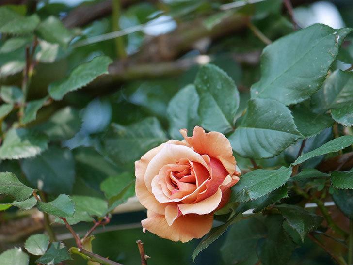 つるジュリア(ツルバラ)の花が咲いた。2020年-6.jpg