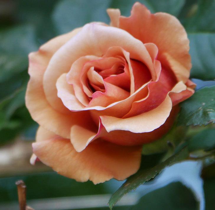 つるジュリア(ツルバラ)の花が咲いた。2020年-7.jpg