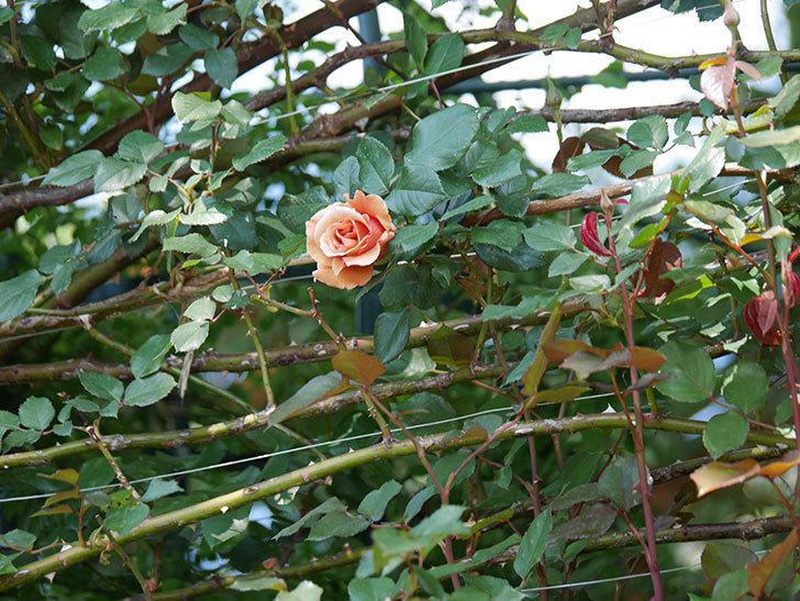 つるジュリア(ツルバラ)の花が咲いた。2020年-8.jpg