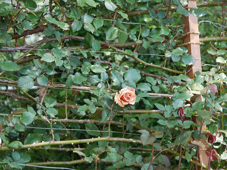 つるジュリア(ツルバラ)の花が咲いた。2020年-9.jpg