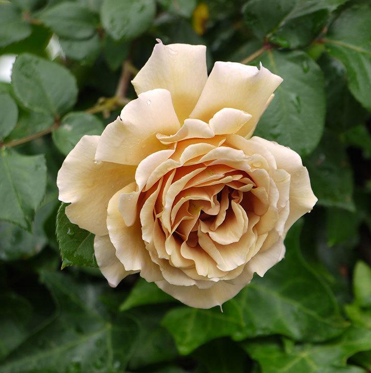 つるジュリア(ツルバラ)の花が増えてきた。2017年-1.jpg