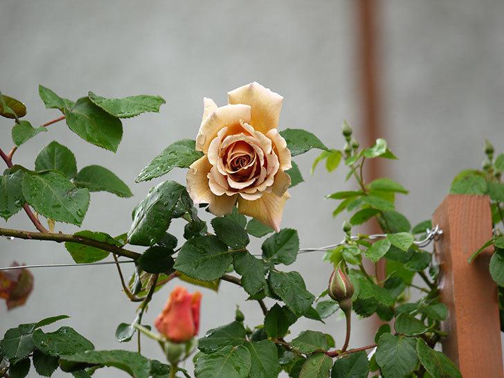 つるジュリア(ツルバラ)の花が増えてきた。2017年-10.jpg
