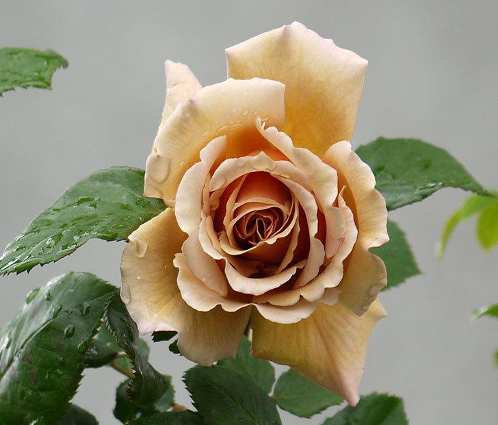 つるジュリア(ツルバラ)の花が増えてきた。2017年-11.jpg
