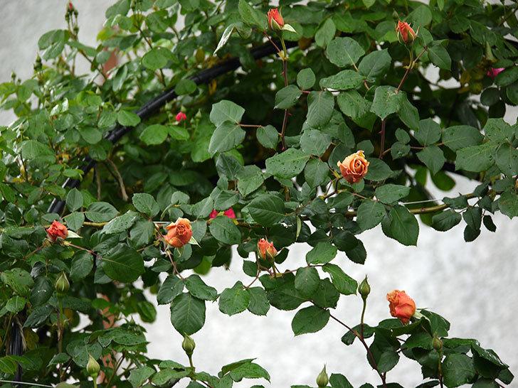 つるジュリア(ツルバラ)の花が増えてきた。2017年-12.jpg