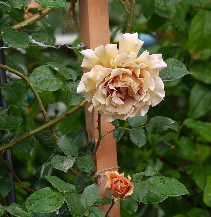 つるジュリア(ツルバラ)の花が増えてきた。2017年-13.jpg