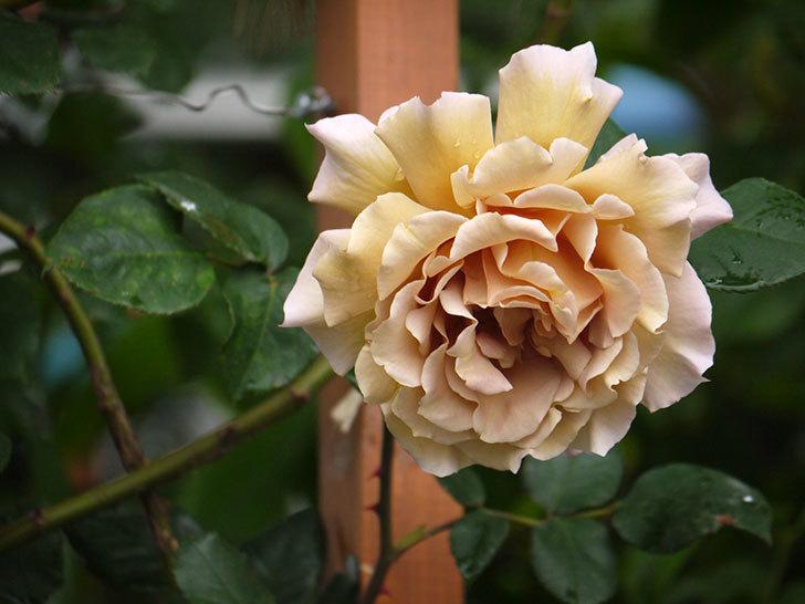 つるジュリア(ツルバラ)の花が増えてきた。2017年-14.jpg