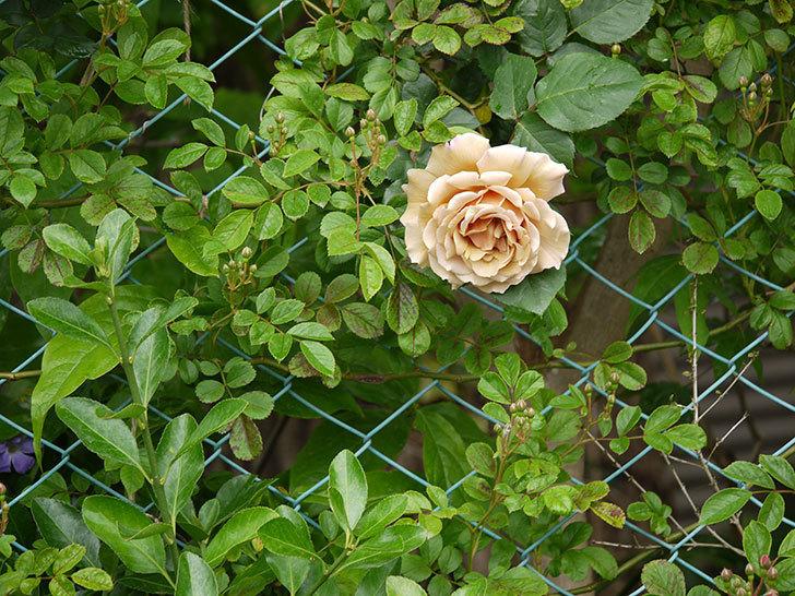 つるジュリア(ツルバラ)の花が増えてきた。2017年-16.jpg