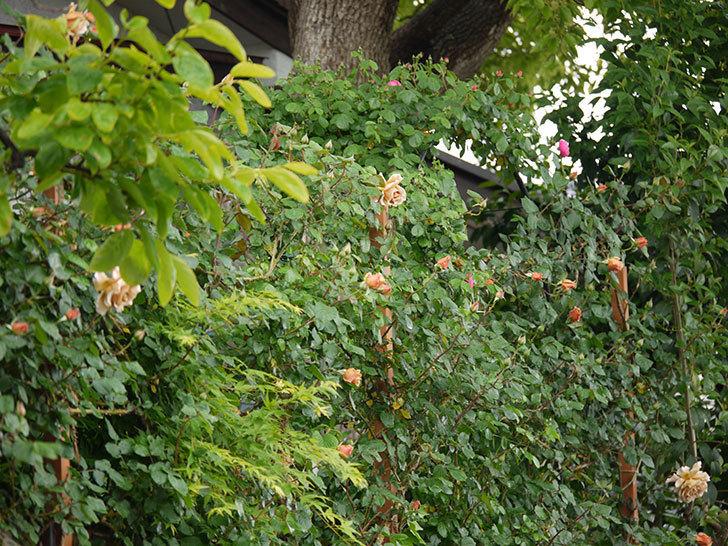 つるジュリア(ツルバラ)の花が増えてきた。2017年-18.jpg