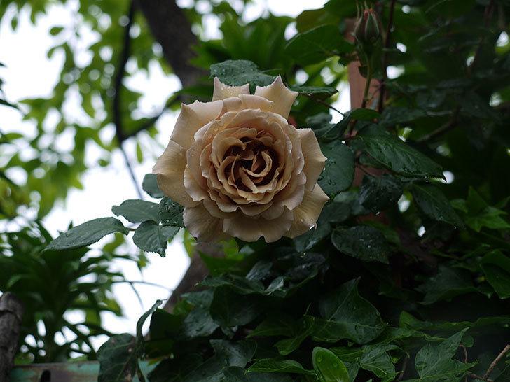 つるジュリア(ツルバラ)の花が増えてきた。2017年-19.jpg