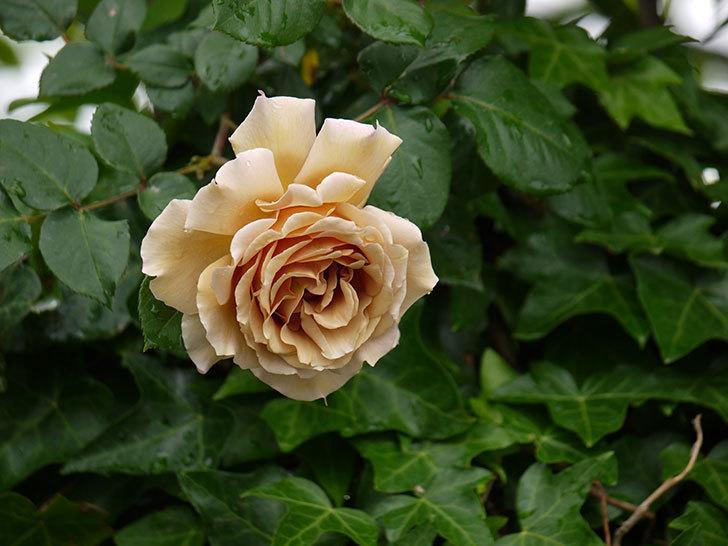 つるジュリア(ツルバラ)の花が増えてきた。2017年-2.jpg