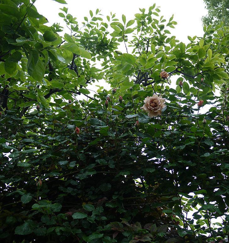 つるジュリア(ツルバラ)の花が増えてきた。2017年-21.jpg