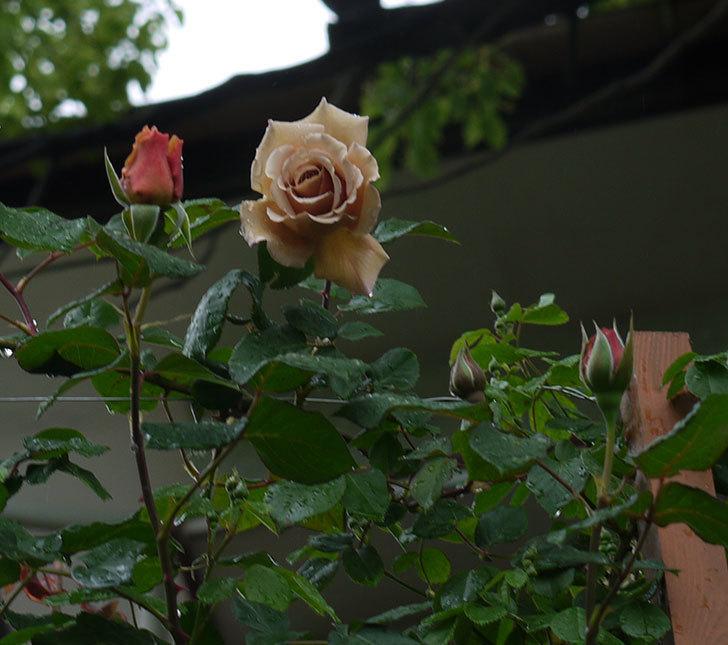 つるジュリア(ツルバラ)の花が増えてきた。2017年-22.jpg