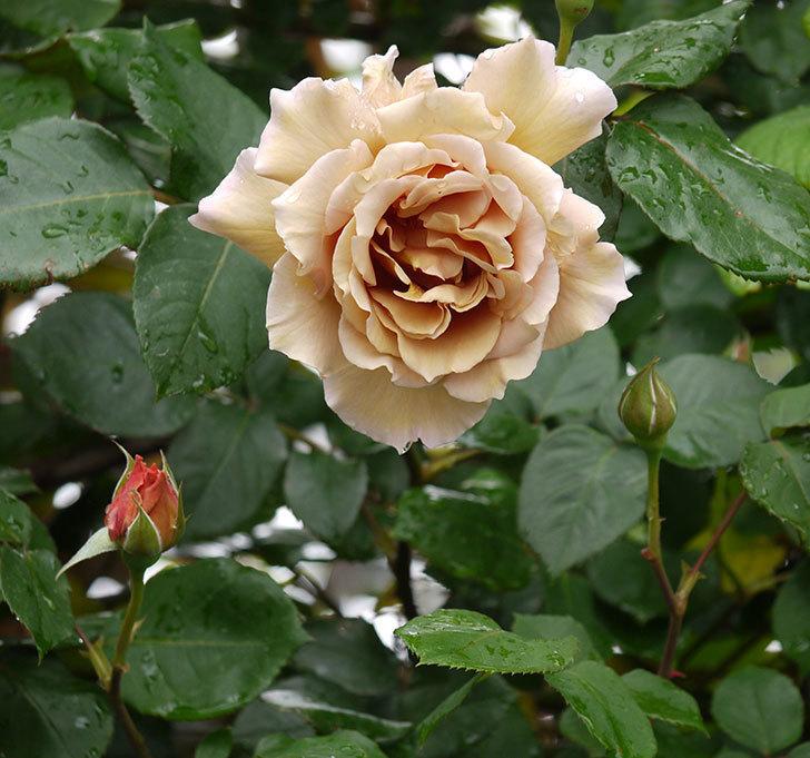 つるジュリア(ツルバラ)の花が増えてきた。2017年-3.jpg