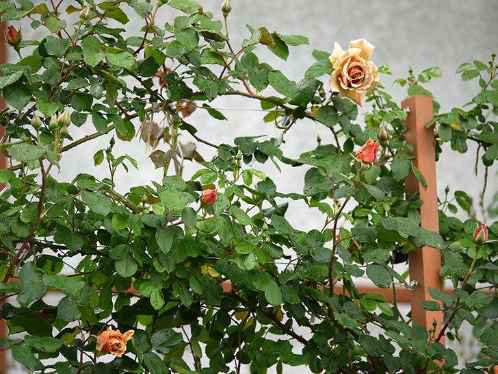つるジュリア(ツルバラ)の花が増えてきた。2017年-6.jpg