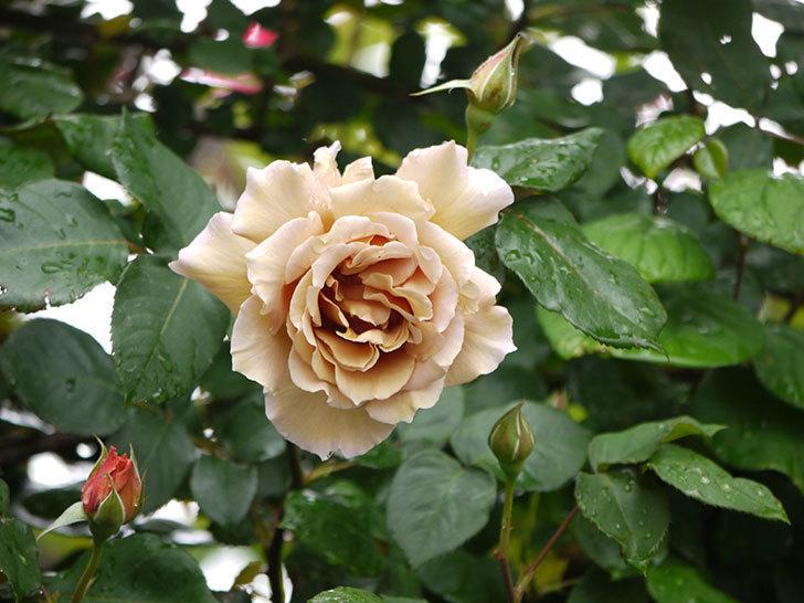 つるジュリア(ツルバラ)の花が増えてきた。2017年-7.jpg