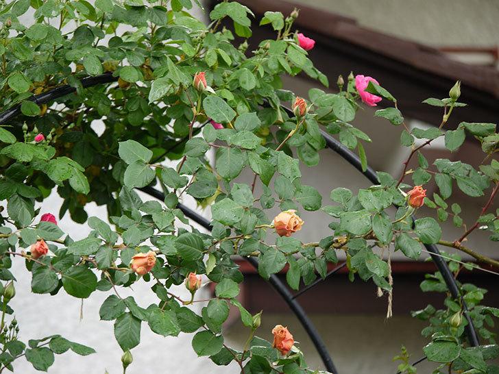 つるジュリア(ツルバラ)の花が増えてきた。2017年-9.jpg