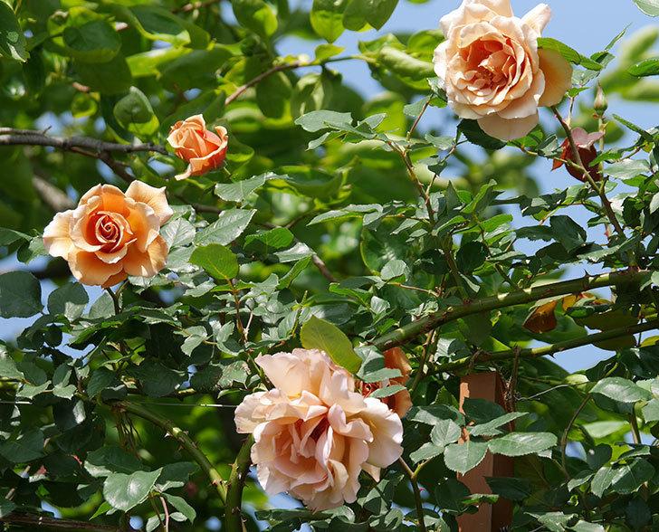つるジュリア(ツルバラ)の花が増えてきた。2018年-1.jpg