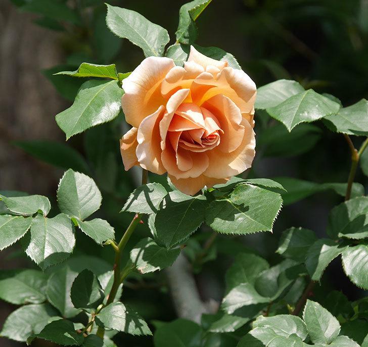 つるジュリア(ツルバラ)の花が増えてきた。2018年-11.jpg