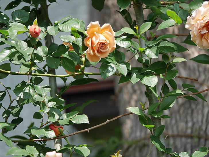 つるジュリア(ツルバラ)の花が増えてきた。2018年-12.jpg