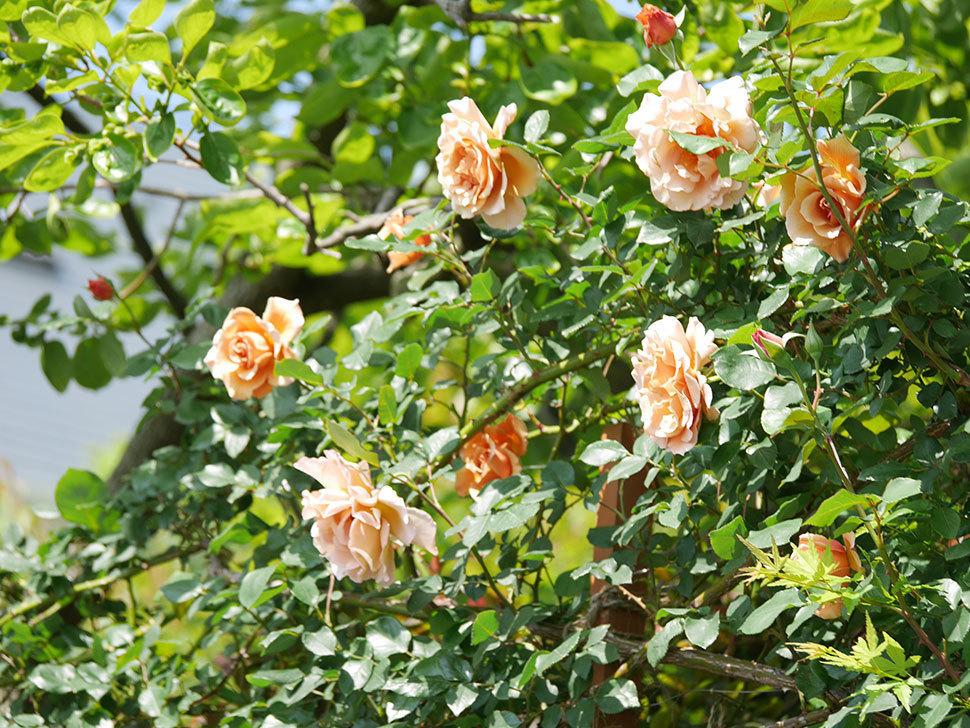つるジュリア(ツルバラ)の花が増えてきた。2018年-15.jpg