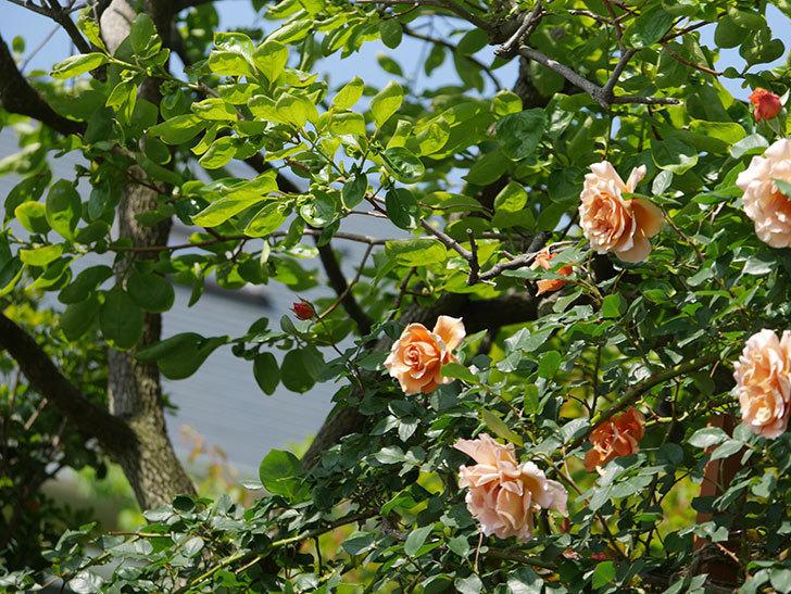 つるジュリア(ツルバラ)の花が増えてきた。2018年-16.jpg
