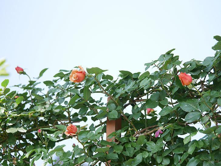 つるジュリア(ツルバラ)の花が増えてきた。2018年-17.jpg