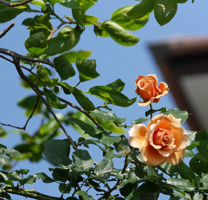 つるジュリア(ツルバラ)の花が増えてきた。2018年-3.jpg