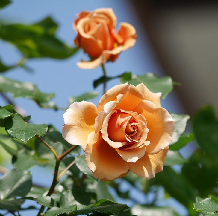 つるジュリア(ツルバラ)の花が増えてきた。2018年-4.jpg