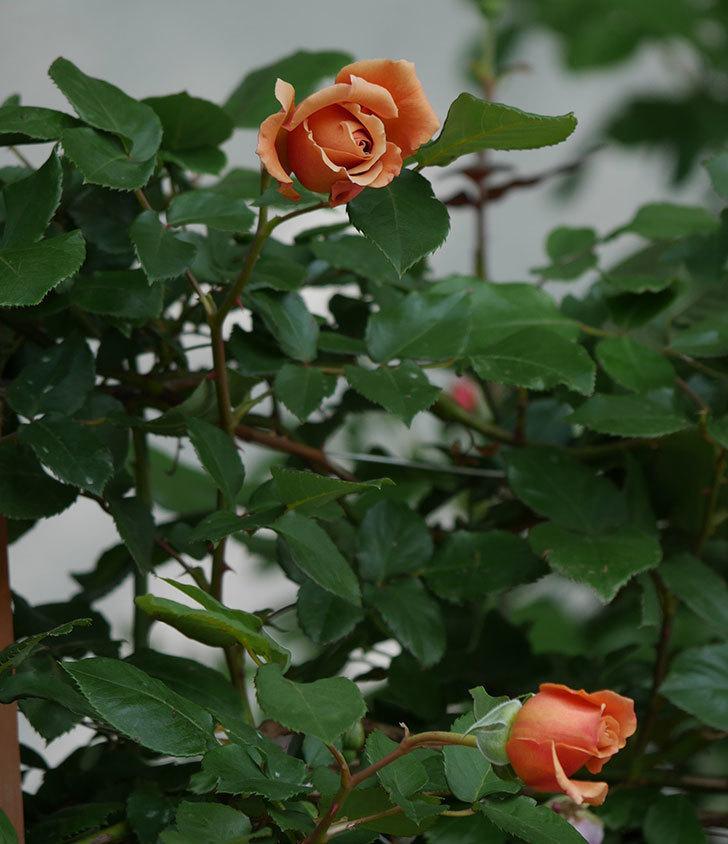 つるジュリア(ツルバラ)の花が増えてきた。2018年-5.jpg