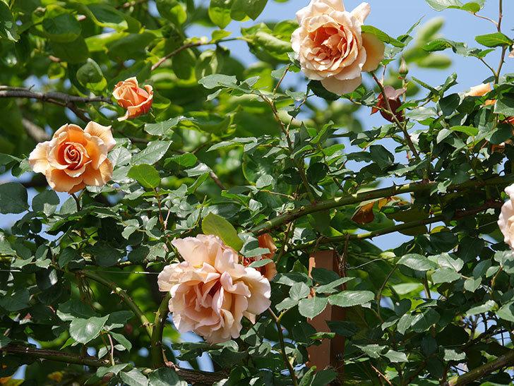 つるジュリア(ツルバラ)の花が増えてきた。2018年-7.jpg