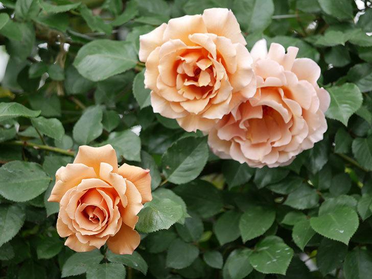 つるジュリア(ツルバラ)の花が増えて来た。2019年-1.jpg