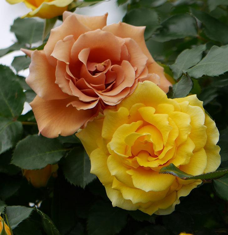 つるジュリア(ツルバラ)の花が増えて来た。2019年-10.jpg