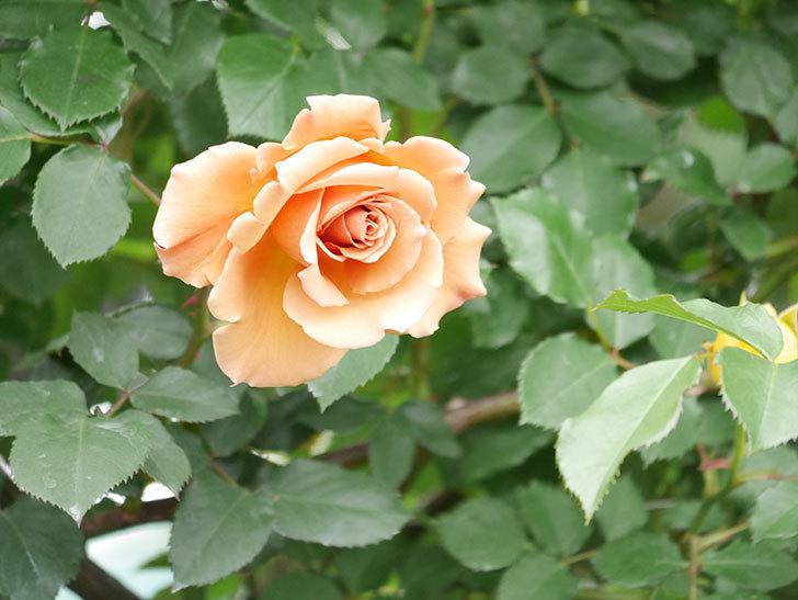 つるジュリア(ツルバラ)の花が増えて来た。2019年-13.jpg