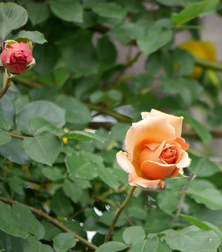 つるジュリア(ツルバラ)の花が増えて来た。2019年-14.jpg