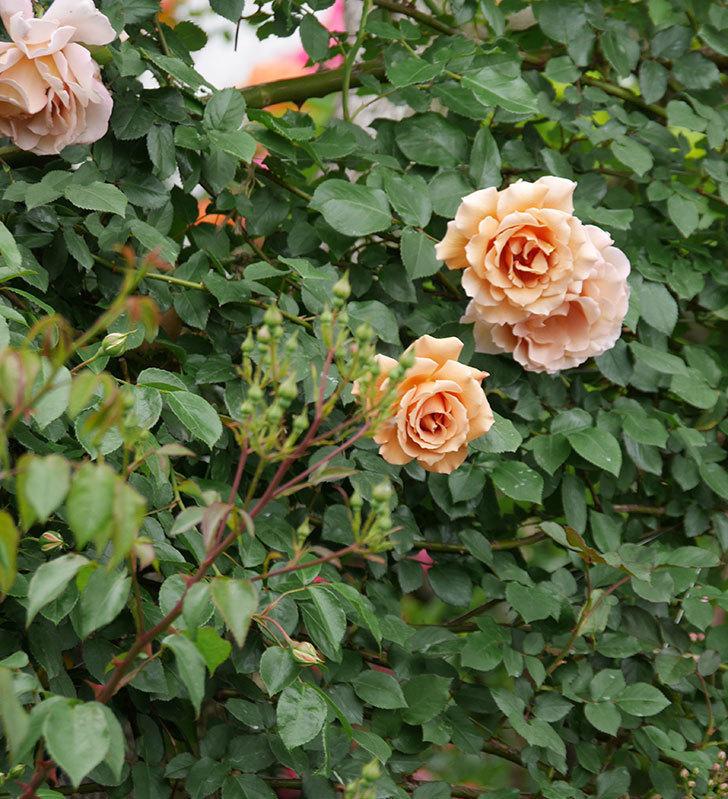 つるジュリア(ツルバラ)の花が増えて来た。2019年-15.jpg