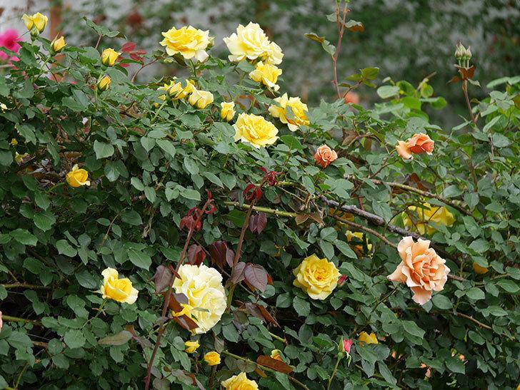 つるジュリア(ツルバラ)の花が増えて来た。2019年-16.jpg