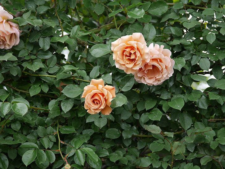 つるジュリア(ツルバラ)の花が増えて来た。2019年-17.jpg
