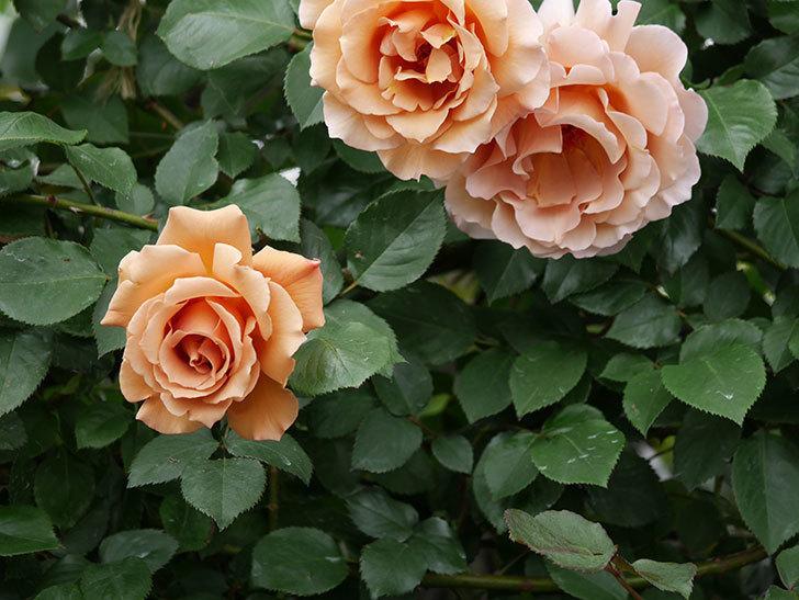 つるジュリア(ツルバラ)の花が増えて来た。2019年-18.jpg